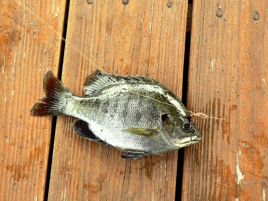 Bluegill Facts Tips Common Questions Answered