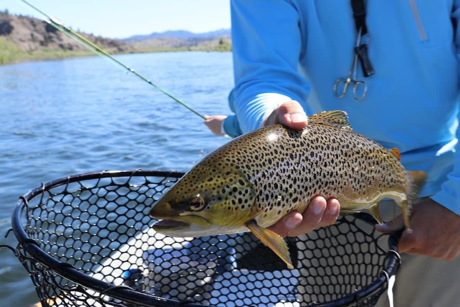 Everything You Need to Know About Brown Trout & 5 Tips