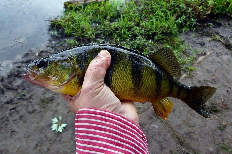 Yellow Perch Fishing Gear List | Freshwater Fishing Advice