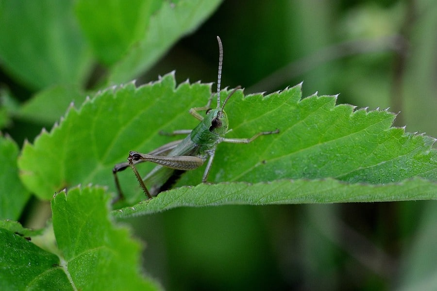 Do Grasshoppers Make Good Fishing Bait? Answers Inside